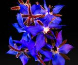 borage flower-8690